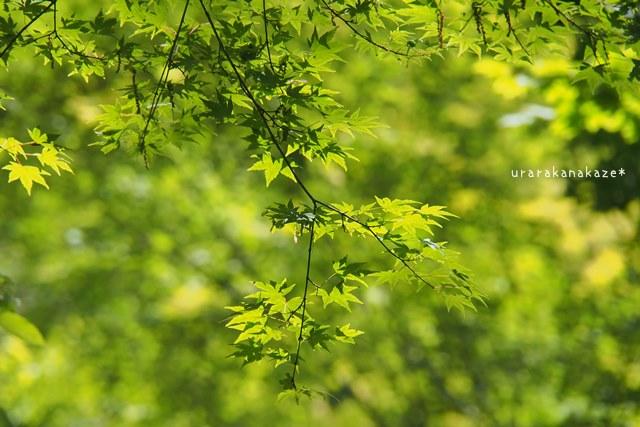 神戸市立森林植物園 もみじ