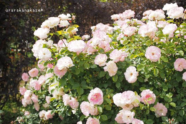 六甲山カンツリーハウスのバラ
