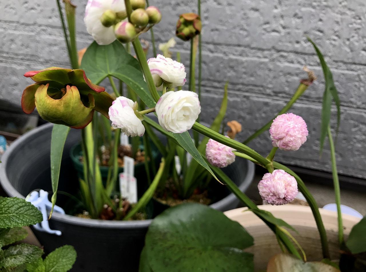 20170628-Sagttaria_sagittifolia-I01.jpg