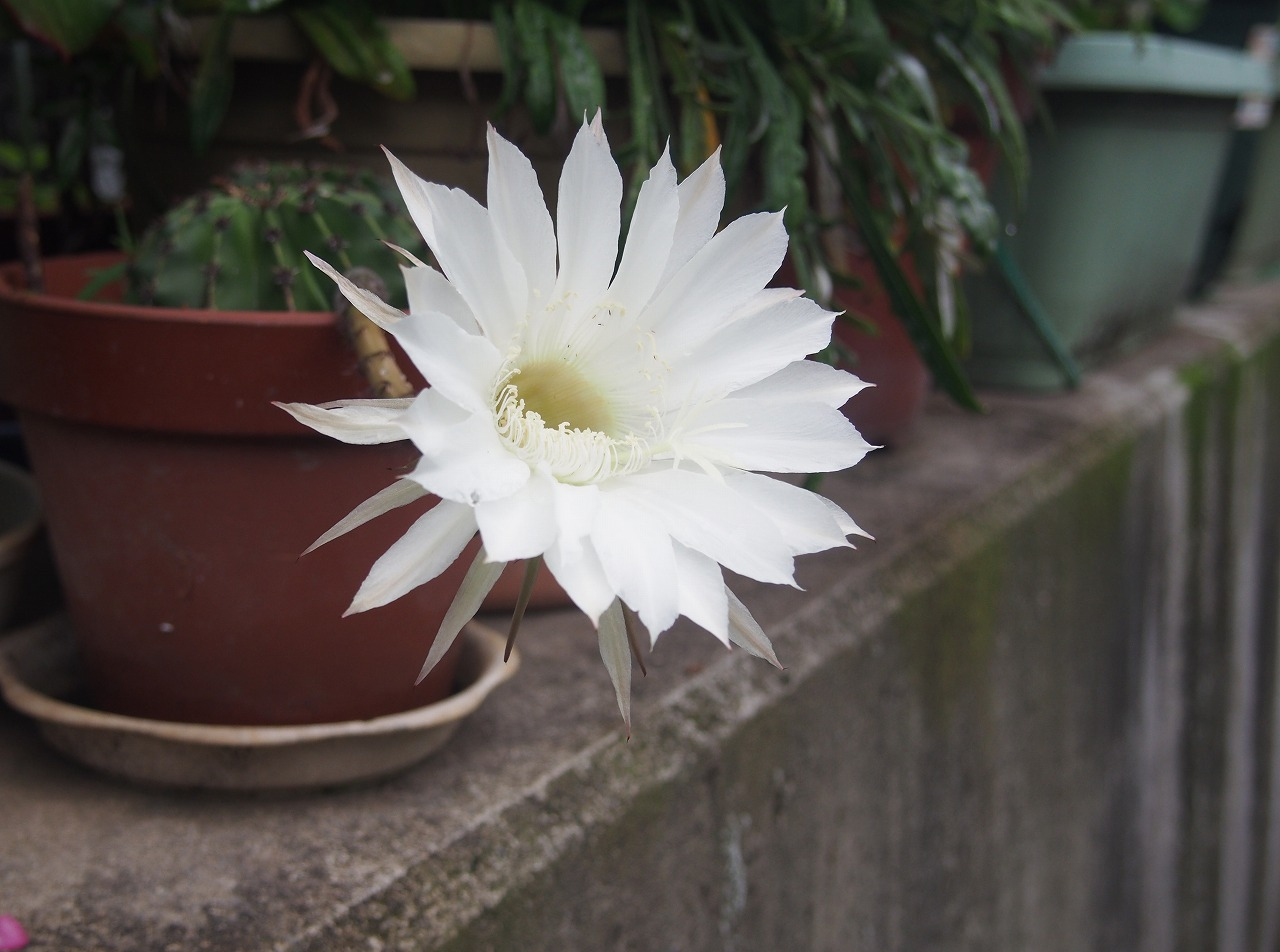 20170701-Cuctus_Flower-O01.jpg