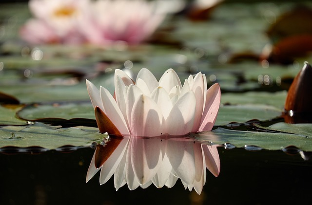 water-lily-1442057_640.jpg
