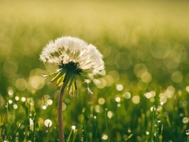 grass-plants-green-plant-dandelion-flower.jpg