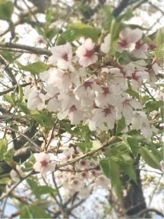 桜2017年5月10日
