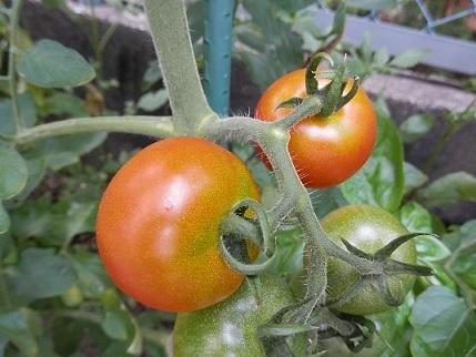 tomato20170707.jpg