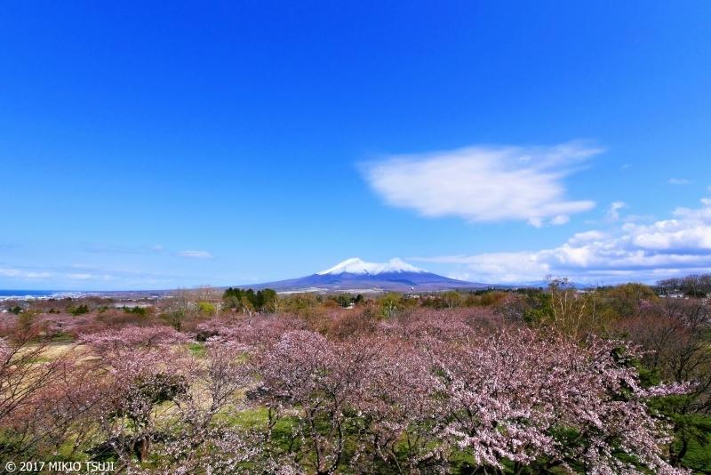 絶景探しの旅 - 0202 桜広がる北海道駒ケ岳 (北海道 茅部郡森町)
