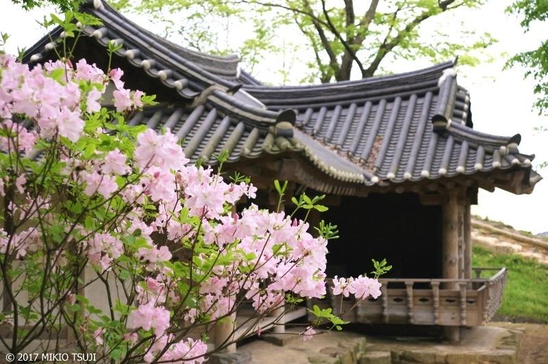 絶景探しの旅 - 0243 朝鮮半島に咲くツツジの王様「クロフネツツジ」 (高敞邑城韓国 全羅北道)