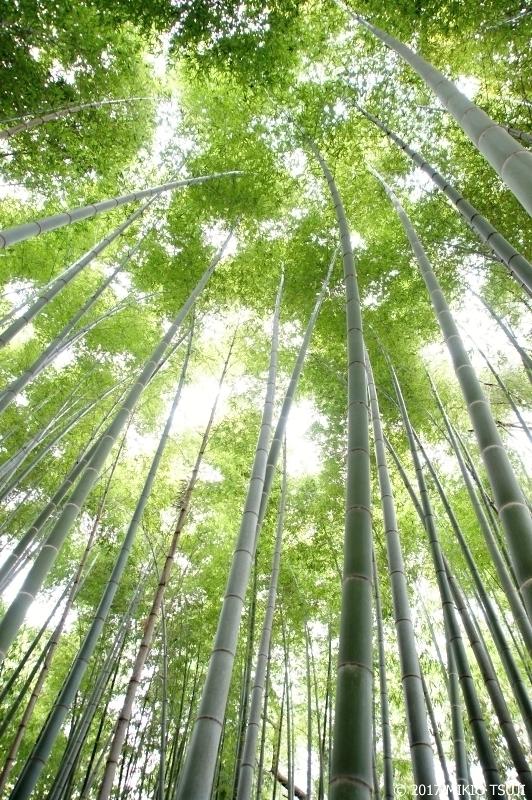絶景探しの旅 - 0246 高敞邑城の孟宗竹の竹林を見上げる (韓国 全羅北道)