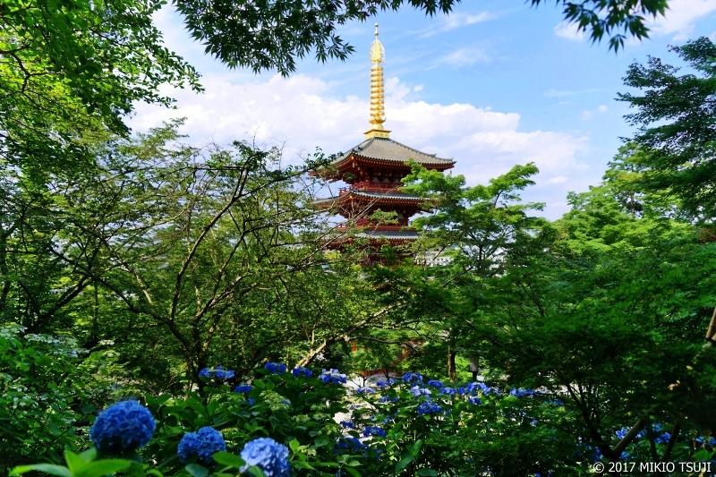 0261 紫陽花と高幡不動尊の五重塔 (東京都 日野市)