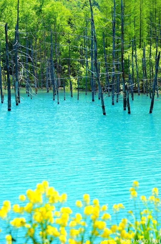 絶景探しの旅 - 0279 菜の花と青い池 (北海道 美瑛町)